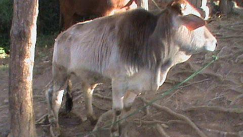 5-cow.jpg