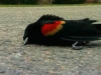 15-dead_birds.jpg