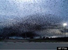 16-BLACKBIRDS-large.jpg