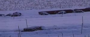 5-DEAD-COWS-large570.jpg