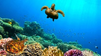 Green-Sea-Turtle-swimming-over-Coral-Reef.jpg