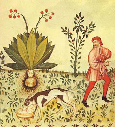 Mandragora-Tacuinum-Sanitatis.jpg