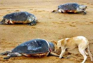 Olive-Ridley-sea-turtles.jpg