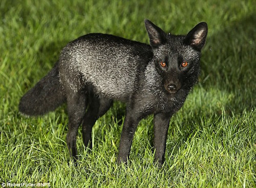 black-fox-top.jpg