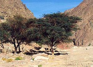 boxthorn-tree2.jpg