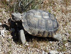 desert-tortoise.JPG