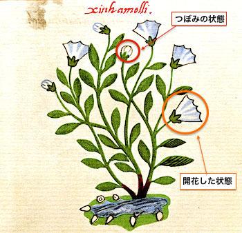 flower-cruz-badianus.jpg
