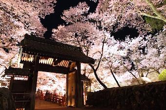 nagano-sakura.jpg