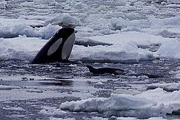 orca-01.jpg