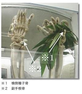 panda-6th-fingers.jpg