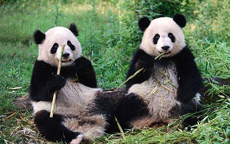 panda_1726130c.jpg