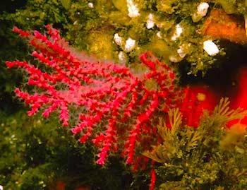 red-gorgonian.jpg